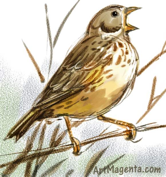 Corn bunting sketch painting. Bird art drawing by illustrator Artmagenta.