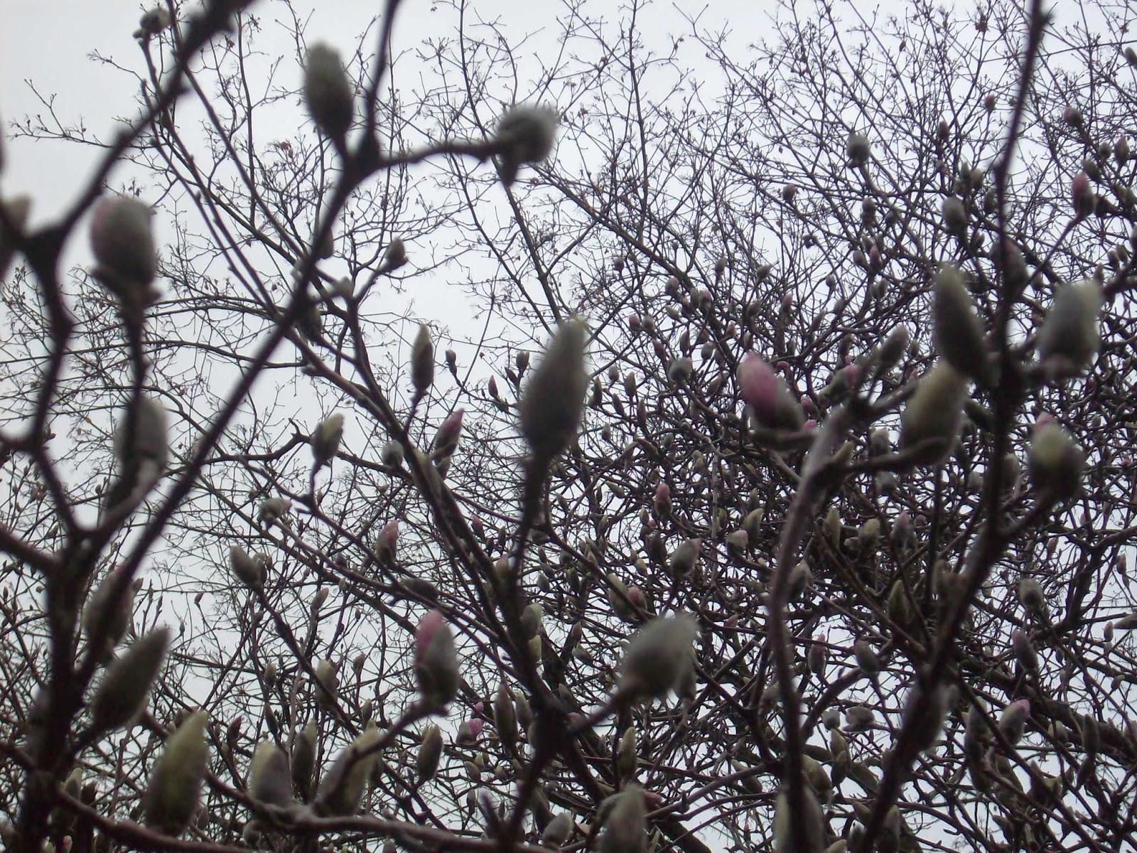 - magnolia
