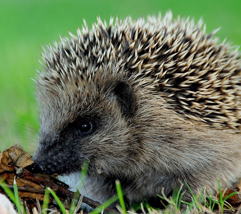 http://2.bp.blogspot.com/-VtKHWLetp2c/UaK1th1FKdI/AAAAAAAARws/LLOHOogo8kI/s1600/cute_hedgehog-Wild_Animal_HD_Wallpapers_1366x768.jpg