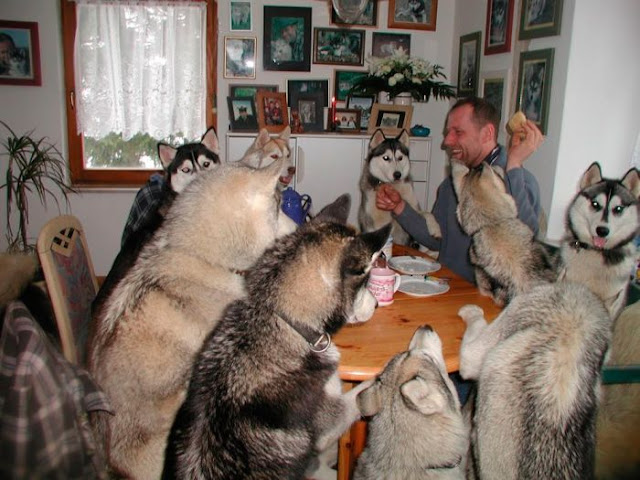 funny animal pictures, husky party