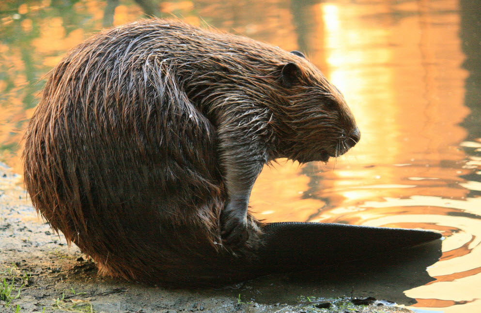 Beaver   The Biggest Animals Kingdom