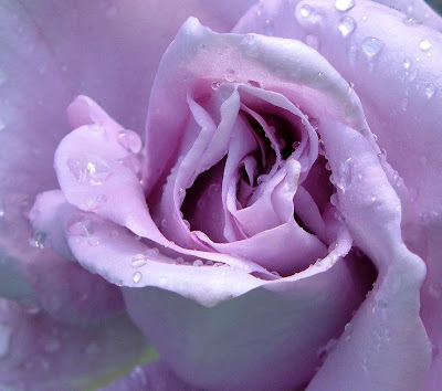 Lavender Rose Picture