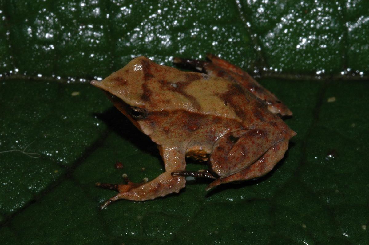 Darwin S Frog Animal Wildlife