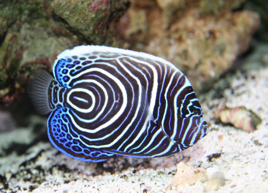 Emperor Angelfish - Fishes World - HD Images & Free Photos