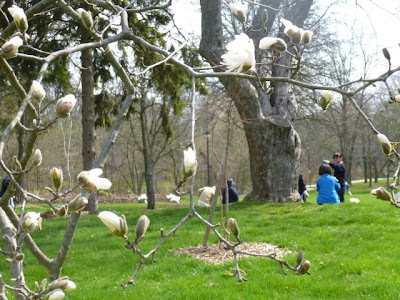 Magnolias just beginning to open buds, show white flowers, as spring cleanup underway.
