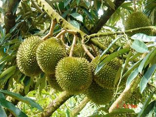 Pohon Durian dan Buah Durian