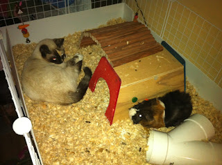 Guinea Pig and cat sleeping together