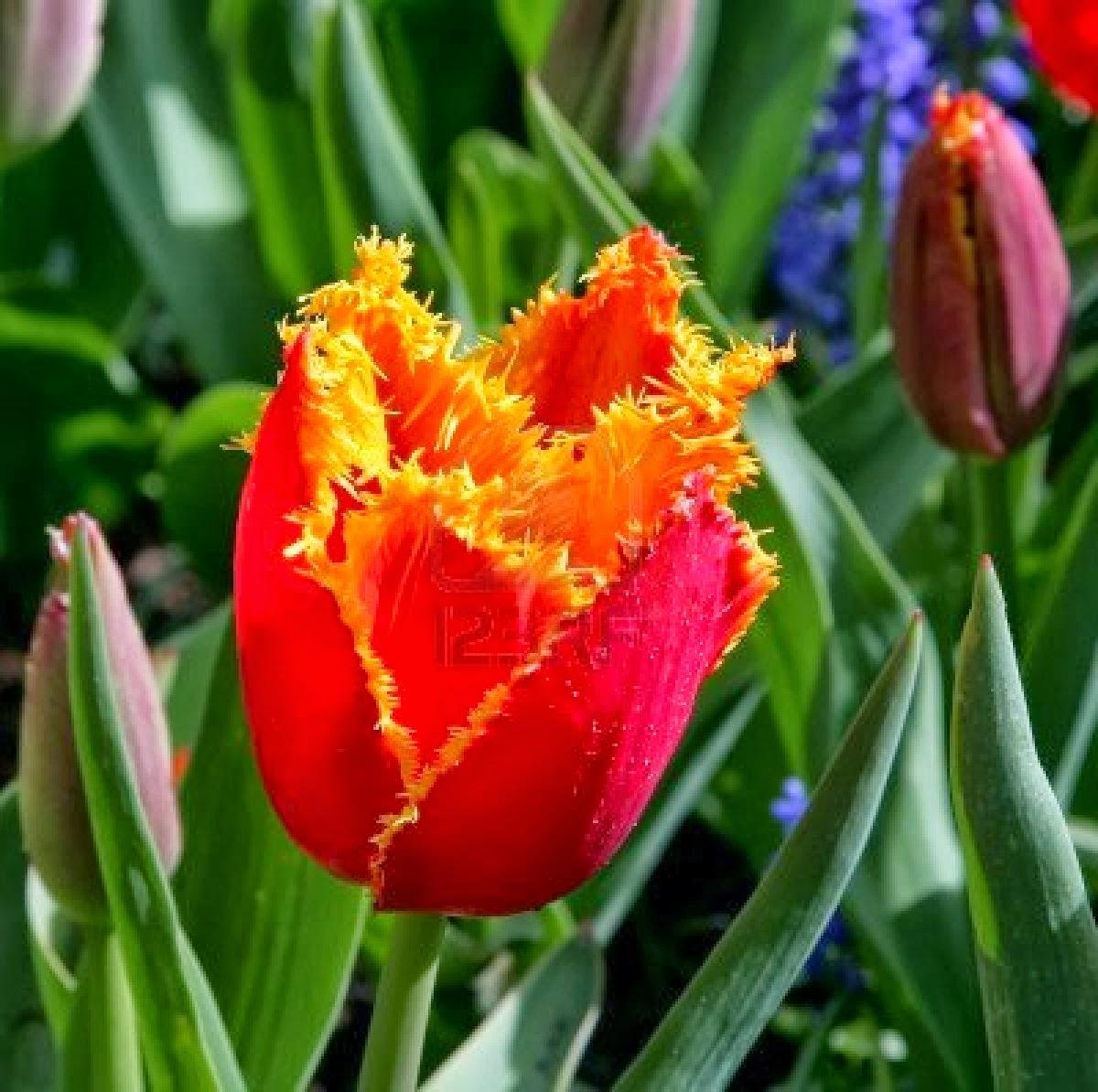 Flores ex ticas el tulip n - Flores tropicales fotos ...