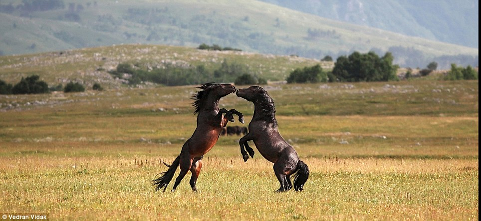 horses mating with cows. Brawl: A powerful bay horse