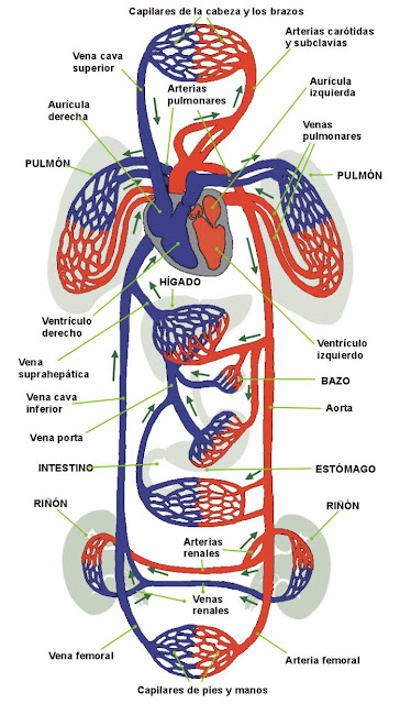 Circuito Circulatorio : Standard note structure of human heart and blood circulation