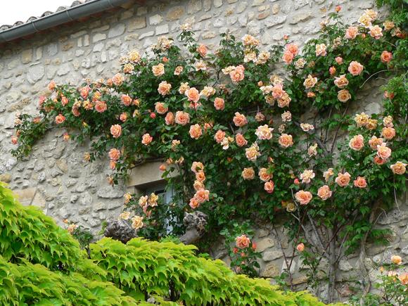 Arte y jardiner a plantas trepadoras en el jardin for Plantas trepadoras de jardin