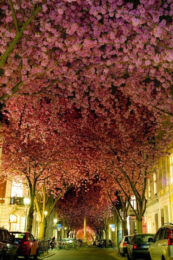 Avenida de los cerezos, Bonn