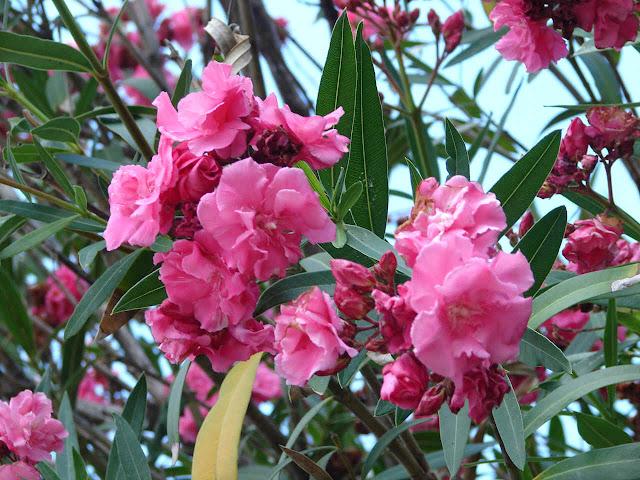 http://2.bp.blogspot.com/-Vv-6_-52V9Q/TeJmYfOGmEI/AAAAAAAAB5s/2e_MGePkzwM/s1600/lauriers+roses.jpg
