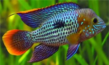 Metallic Blue Acara : GOLD FISH: GREEN TERROR
