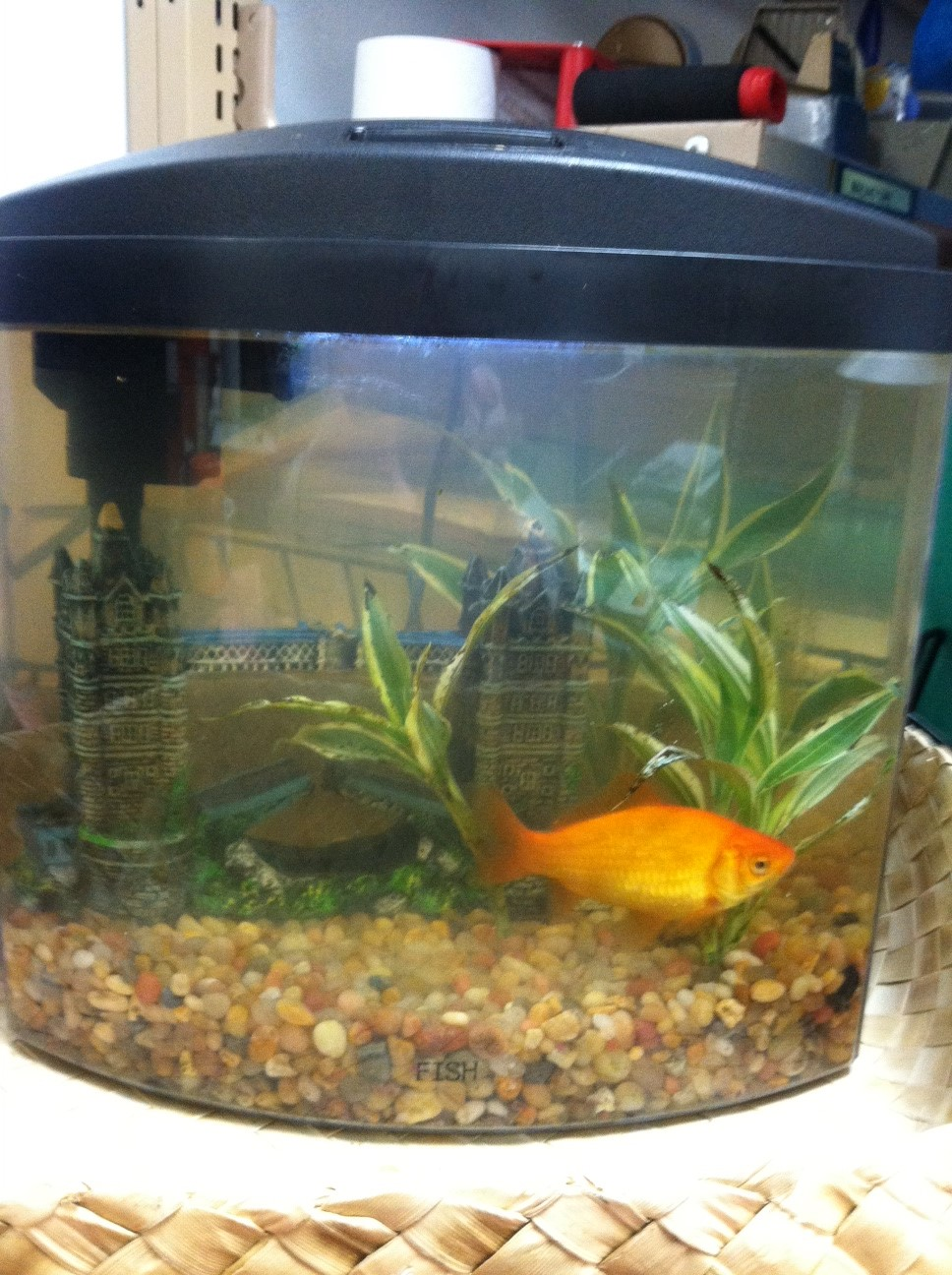 Freshwater aquarium fish library - Goldfish Carry Fortuitous Connotations In Many Cultures They Are One Of The Symbols Of The Buddha They Represent Good Luck Prosperity And Happiness