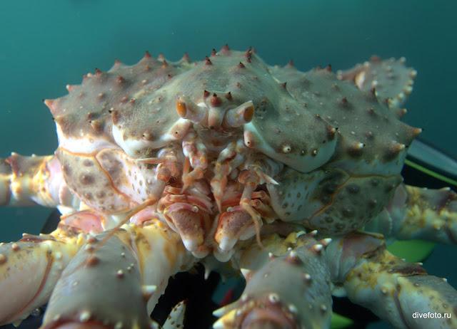 Камчатский краб Баренцево море