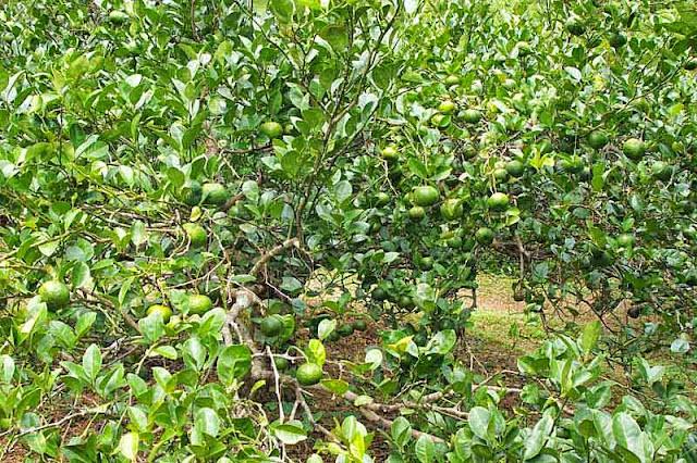 thick brush, tangerine, orchard