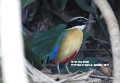 Blue-winged Pitta in Bidadari