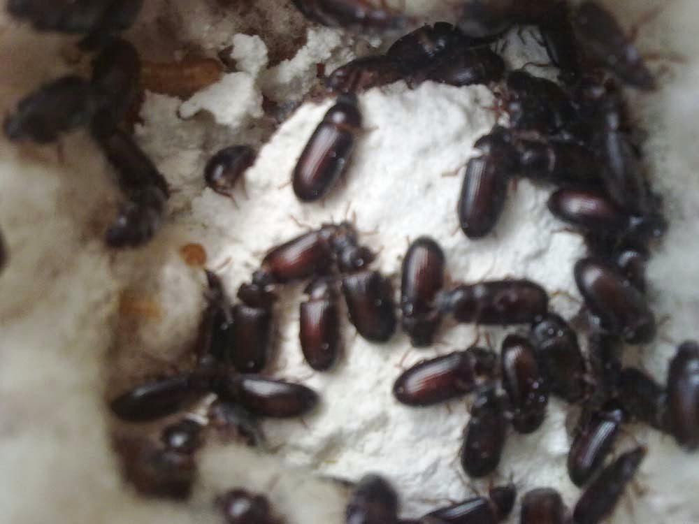 foto semut jepang - gambar hewan