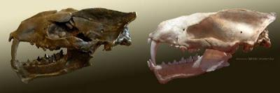 Machaeroides skull