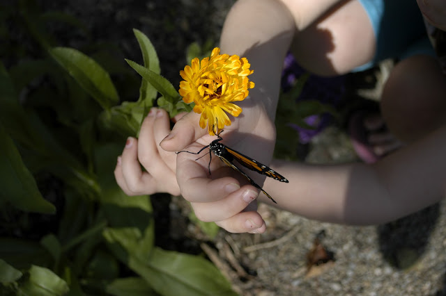 raising and releasing monarch butterflies