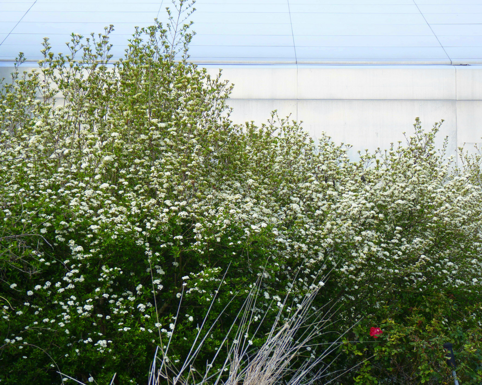 The Taller Walteru0027s Viburnum Can Also Make An Excellent Dense Screen For  The Edge Of A Property Line Or As A Privacy Hedge. Walteru0027s Viburnum Is  Well ...