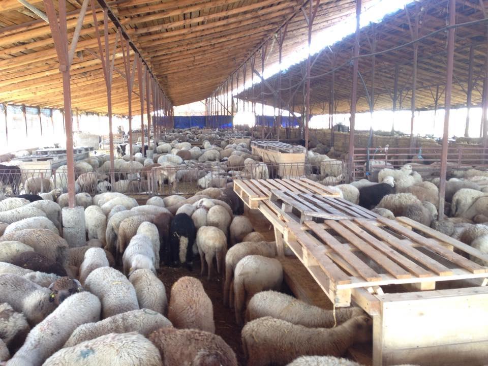 Lamb livestock