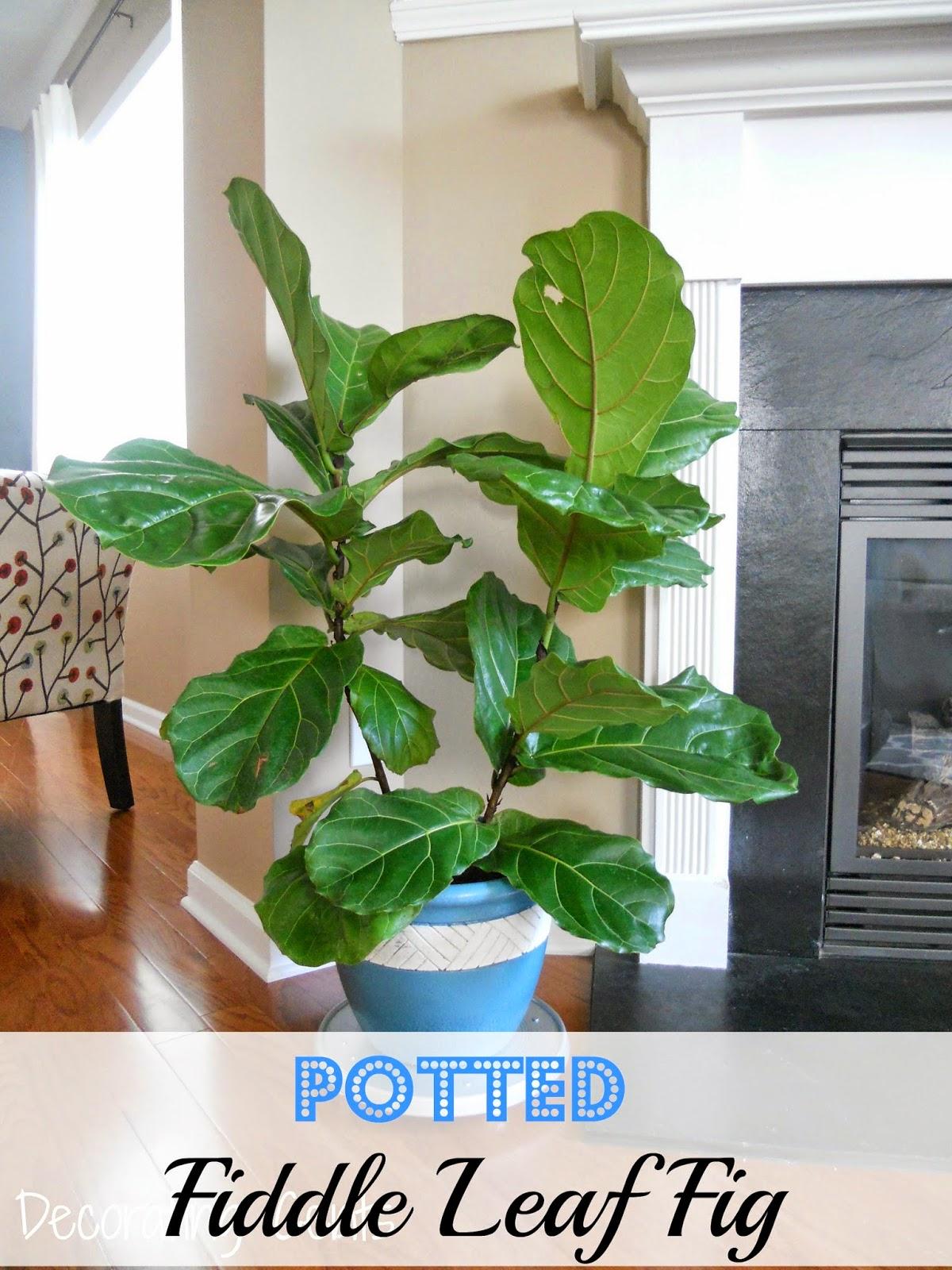 Decorating Cents Potted Fiddle Leaf Fig
