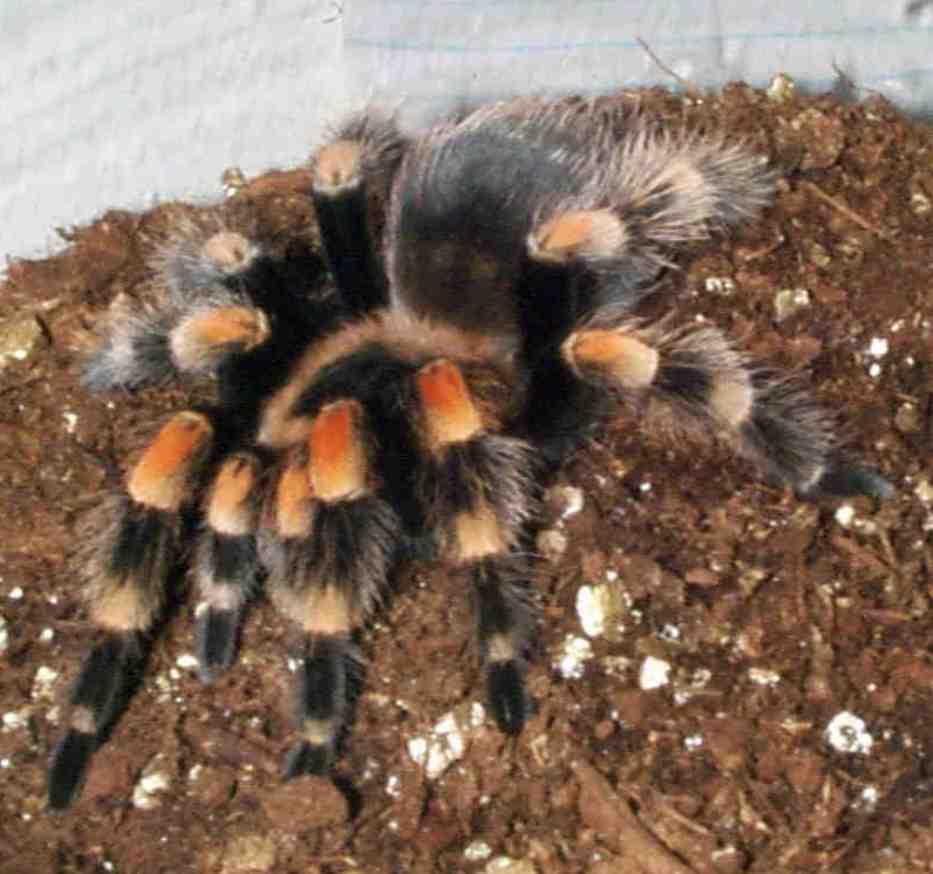 Cute tarantula drawing til tarantulas and other spiders lack leg