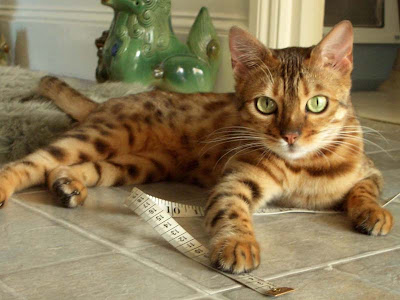 foto kucing bengal 08