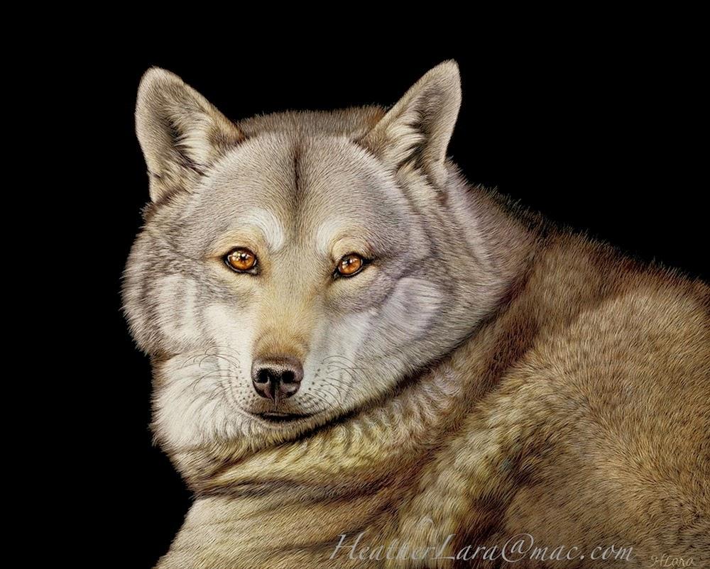 12-Wolf-Heather-Lara-Hyper-realistic-Animal-Scratchboard-Drawings-Wildlife-www-designstack-co
