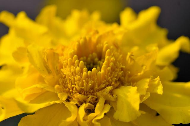 Yellow Marigold -  Nikon D300 & Micro Nikkor 60mm AFD