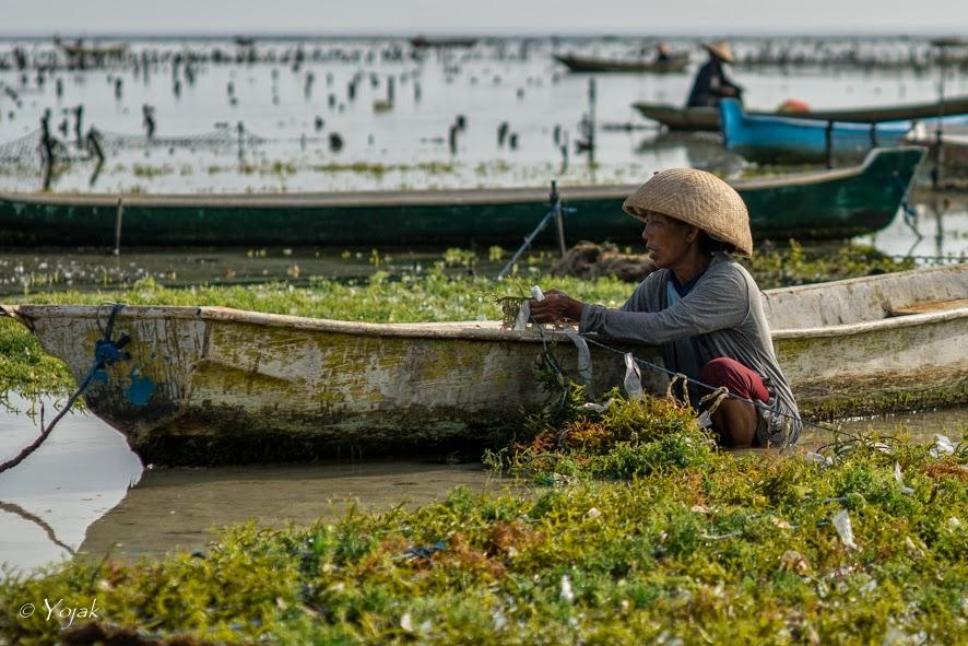 culture d'algues à Lembongan