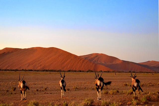 Four gemsbok (oryx) running away from the viewer