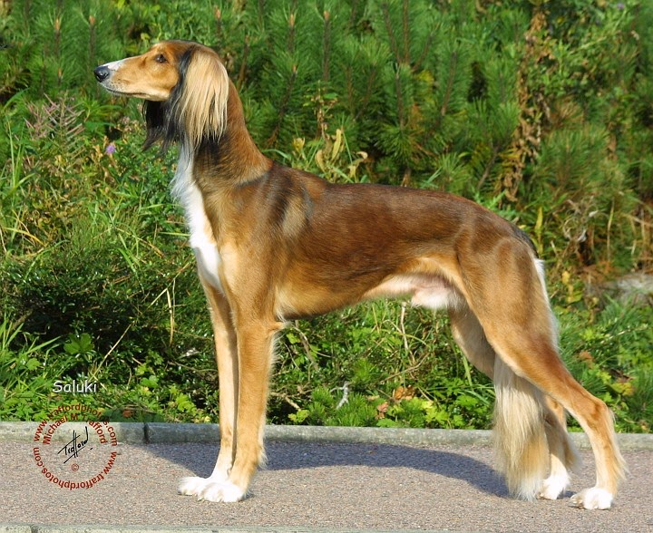 Saluki Dog Bahrain Rescue