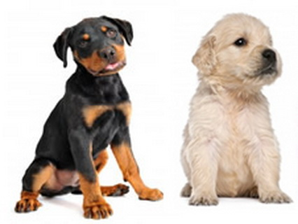 Golden Retriever And Rottweiler Mixchihuahua Puppies