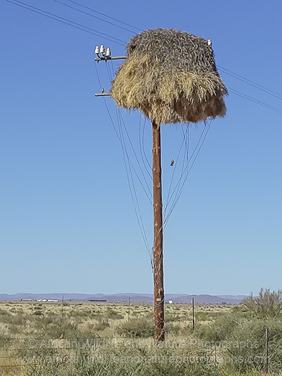 Picture of Sociable Weavers nest on a telegraph pole