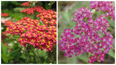 Fall Flowering Plants, Fall Perennials, Hardy Perennials