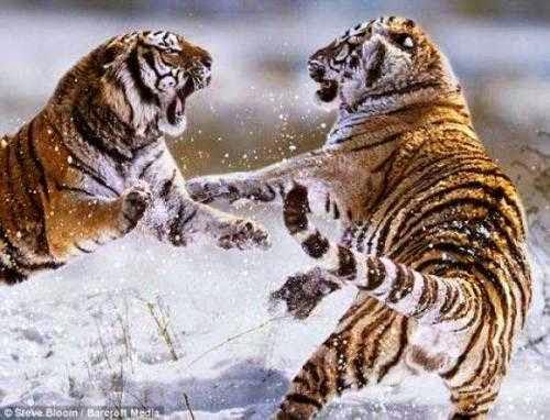 Foto Macan Berkelahi