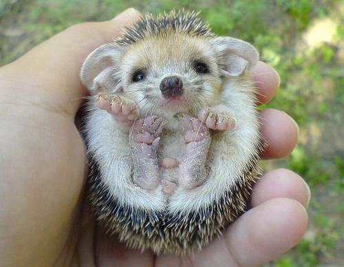 Micro Hedgehogs