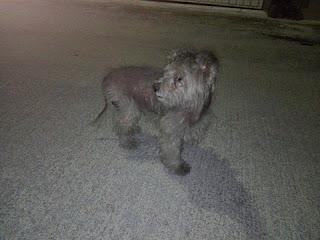Χάθηκε στον Ταύρο μικρόσωμο αρσενικό σκυλάκι. Το έχει δει κανείς?