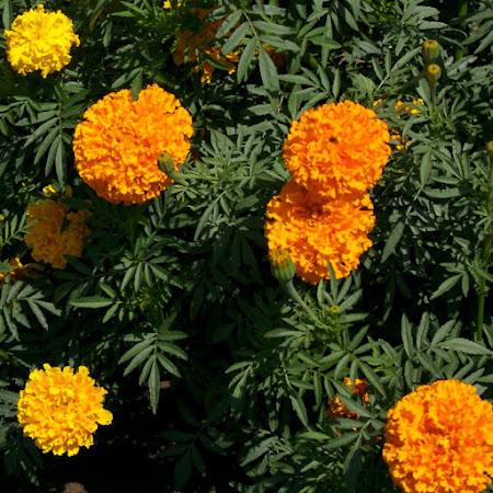 Marigold - African Mix