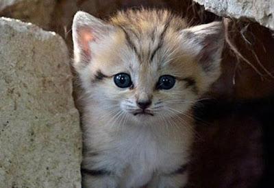 kucing pasir