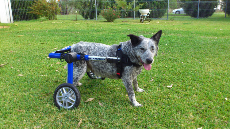 Handicapped pets paralyzed dog rescued from down under