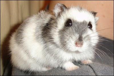 5 Jenis Hamster Lucu Yang Ada Di Indonesia