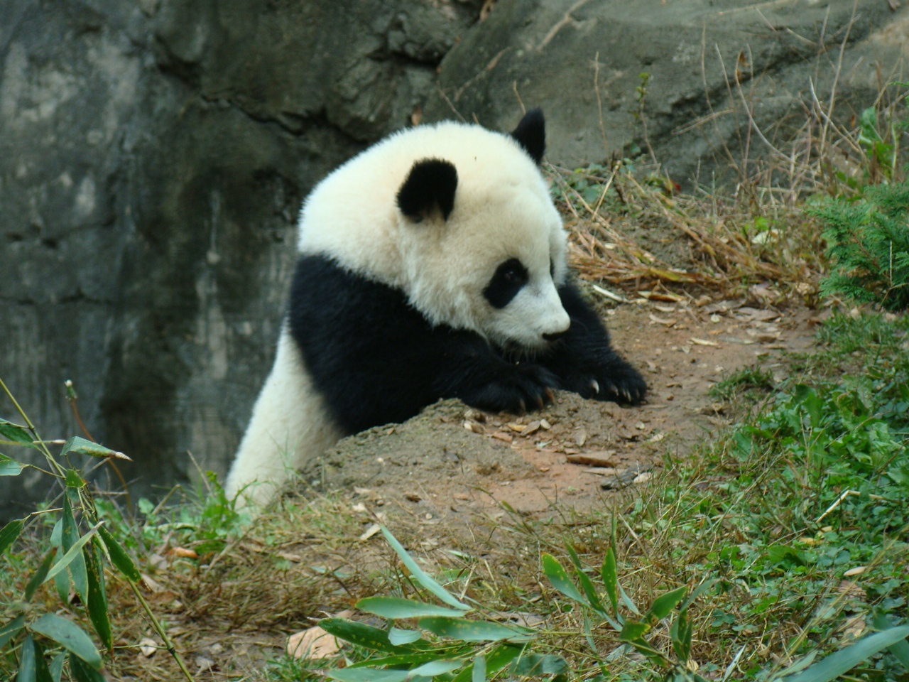 ANIMALS WALLPAPERS: panda cool facts, panda cool stuff ...