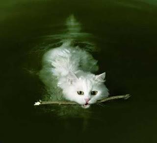 gato ou castor