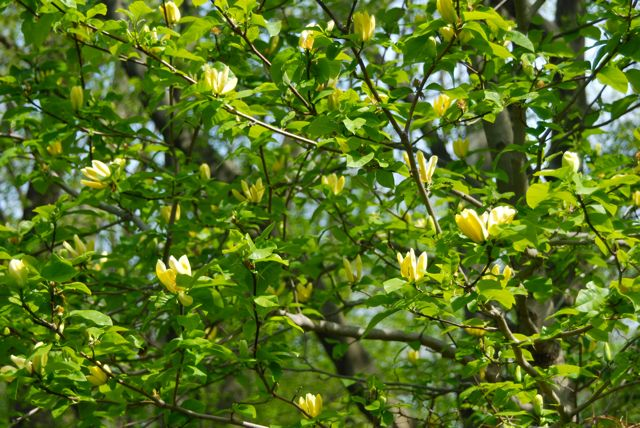 This yellow beauty is known as cucumber magnolia, Magnolia acuminata 'Yellow Bird'. They flowers do look like a flock of tropical songbirds roosting in the sunlight.