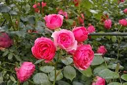 93 Gambar Gambar Bunga Mawar Besar Terlihat Cantik