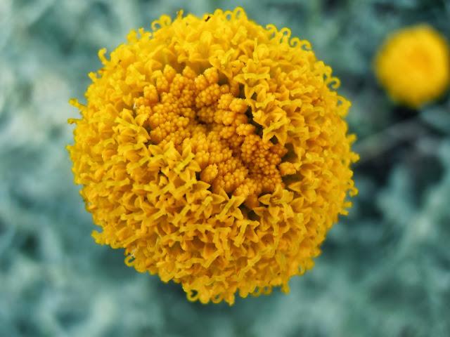 Flores de SANTOLINA: Santolina chamaecyparissus